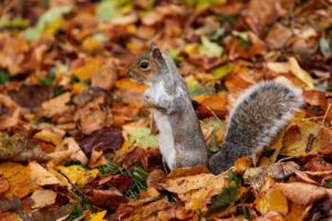 garden clearance London with grey squirrel